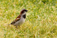 House Sparrow foraging in green grass Stock Images