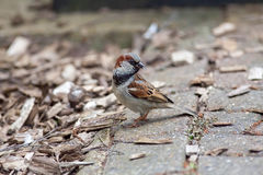 House sparrow gathering insects for food. Royalty Free Stock Photography