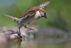 House sparrow grand jump into water pond royalty free stock photos