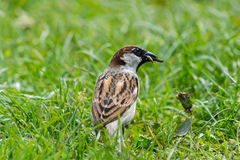 House sparrow on grass Stock Photography