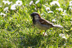 House sparrow on grass with daisies Royalty Free Stock Image
