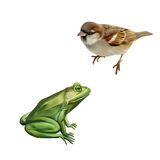 House Sparrow, Green frog. Isolated on white. Background Royalty Free Stock Photography