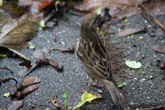 House sparrow on ground. House sparrow on the ground collecting food Stock Images