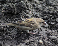 House sparrow on ground. House sparrow searching seed and food between the mud Stock Images
