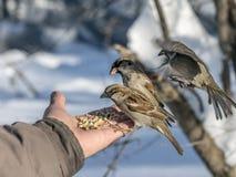 House sparrow on hand Stock Photos