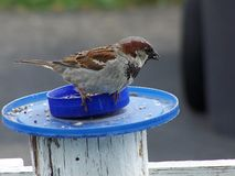 House Sparrow Hanging On Stock Photo