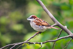 House sparrow holding a piece of fluff in its beak Royalty Free Stock Photography
