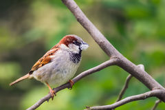 House sparrow holding a piece of fluff in its beak Stock Image