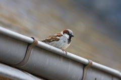 Free House Sparrow, Huismus, Passer Domesticus Stock Images - 129041224
