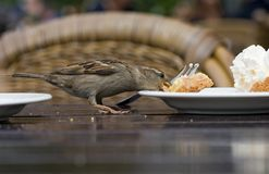 House Sparrow, Huismus, Passer domesticus. House Sparrow adult female stealing food; Huismus volwassen vrouw voedsel stelend op terras royalty free stock photography