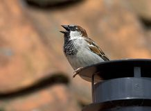House Sparrow, Huismus, Passer domesticus stock photo