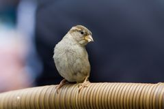 House Sparrow, Huismus, Passer domesticus royalty free stock photos