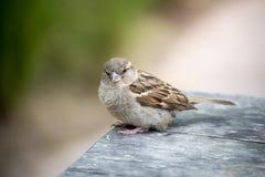 House Sparrow Royalty Free Stock Photos