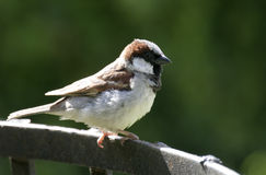 House Sparrow. On an iron fence royalty free stock photo