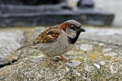 House Sparrow (male) Royalty Free Stock Photography