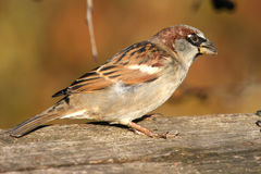House Sparrow male. Passer domesticus feeding on seeds stock photography