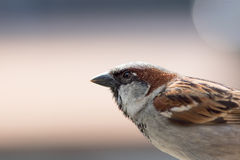 House sparrow. Male bird in close up profile with plain backgrou. Nd copy space. Urban wildlife image of this common wild bird Stock Photography
