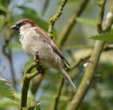 House Sparrow. Male house sparrow on branch Stock Photos