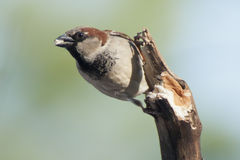 House Sparrow (Male) Stock Photos