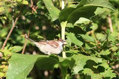 House Sparrow male on Sunflower leaf royalty free stock images