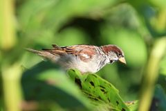 House Sparrow male on Sunflower leaf stock images