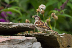 House Sparrow. A male House Sparrow with food in it's beak Stock Images