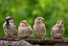 House sparrow male with his children perched together in frame royalty free stock images
