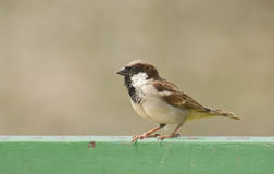 House Sparrow Male Stock Images
