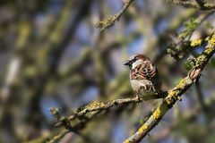 House sparrow male Passer domesticus small bird sitting on a b Royalty Free Stock Photography