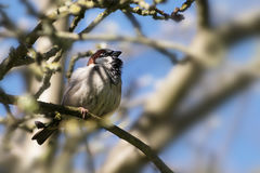House sparrow male Passer domesticus, small bird sitting in a Stock Photos