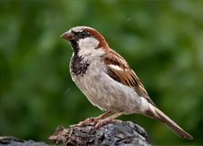 House sparrow male perched on wet branch royalty free stock photography