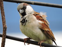 House Sparrow Male Royalty Free Stock Images