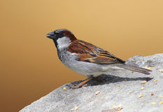 House Sparrow. A male house sparrow sitting on a rock royalty free stock image