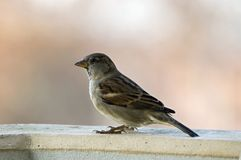 House sparrow male. House sparrow sitting on the wall Royalty Free Stock Image