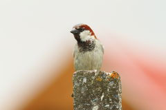 House sparrow, male Stock Photography