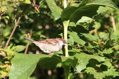 House Sparrow male on Sunflower leaf stock photography