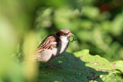 House Sparrow male on Sunflower leaf royalty free stock photo