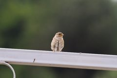 House sparrow on metallic fence Royalty Free Stock Photography