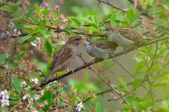 House sparrow mom feeds her children in cherry tree stock images