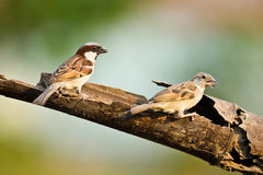 House Sparrow Stock Photo
