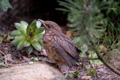 House sparrow in nature - detail royalty free stock photos