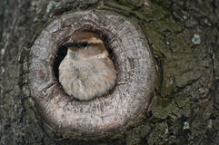 House sparrow in nest. House sparrow (Passer domesticus) in a nest made inside a tree hollow Stock Photography