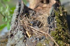 House-sparrow nestling. House sparrow nestling sitting in the nest royalty free stock photo