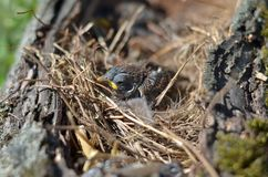 House-sparrow nestling. House sparrow nestling sitting in the nest stock photo