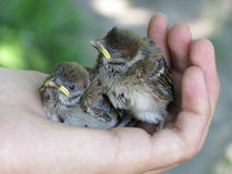 House-sparrow nestlings Stock Image