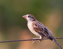 House Sparrow on old wire fence Royalty Free Stock Photo