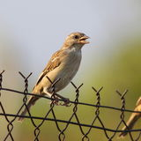 House Sparrow on old wire fence Stock Image