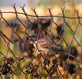 House Sparrow on old wire fence Stock Photography