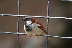 House Sparrow On A Fence Royalty Free Stock Photos