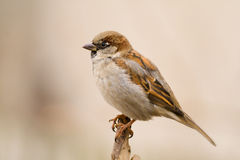 House Sparrow On A Stick Royalty Free Stock Photo